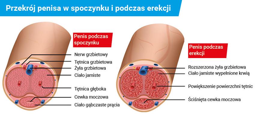 penis jak powodować erekcję